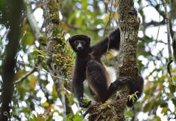 Edwards Sifaka (Propithecus Edwardsi) 2Web